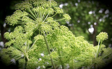 Angelica the plant